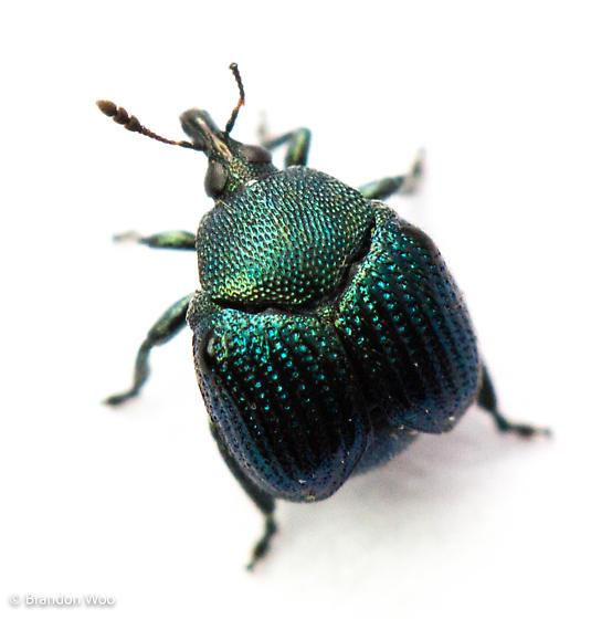 Pterocolus ovatus