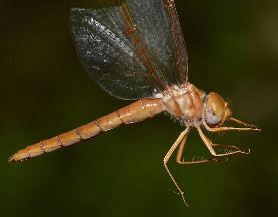 Alabama Shadowdragon - Neurocordulia alabamensis - female
