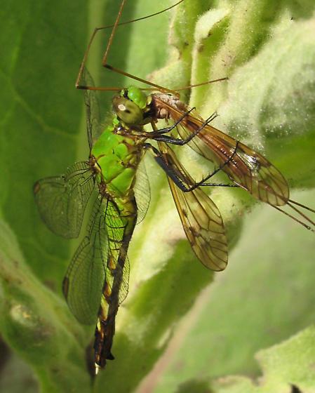 Common Pondhawk, eating cranefly - Erythemis simplicicollis - female