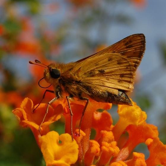 Hylephila phyleus? - Hylephila phyleus