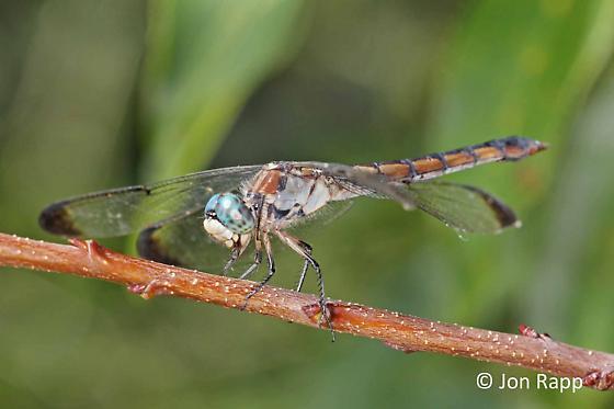 Great Blue Skimmer - Libellula vibrans - female