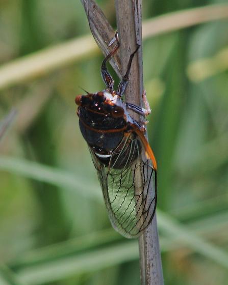 cicada unknown species - Diceroprocta cinctifera