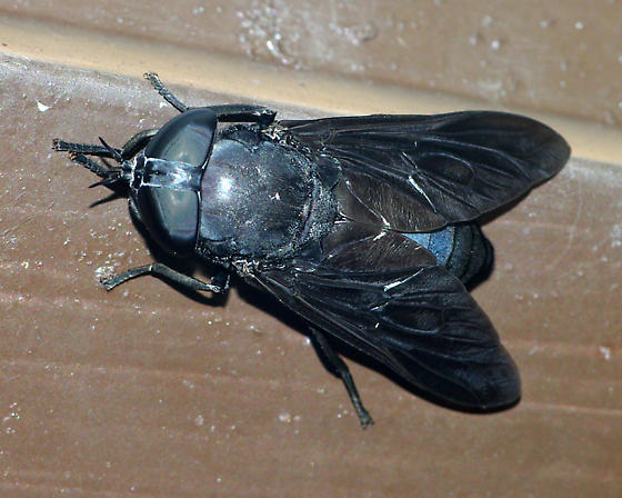 Huge fly - Tabanus atratus - female
