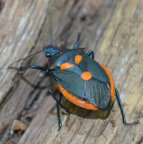 Bug - Euthyrhynchus floridanus