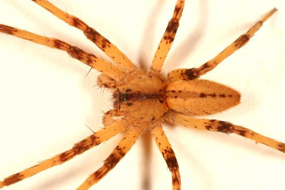 big yellow and brown spider - Pisaurina mira