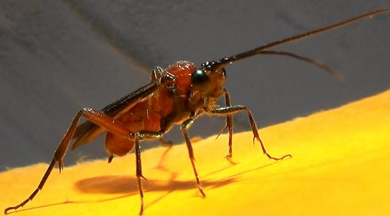 A Braconid Wasp (front) - Zelomorpha arizonensis - female