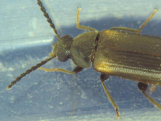 J larvae adult - Mycetochara binotata