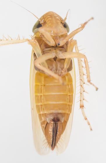 Leafhopper - female