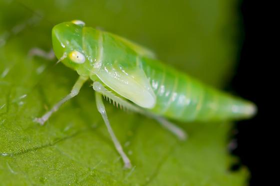 early instar - Pagaronia minor