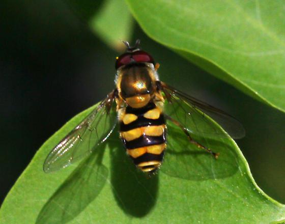 unidentified Syrphidae - Syrphus