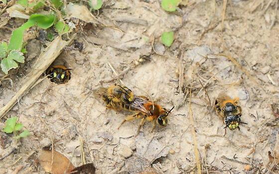 Mining Bees - Andrena accepta - Andrena accepta