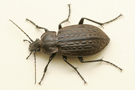 Ground Beetle - Carabus maeander