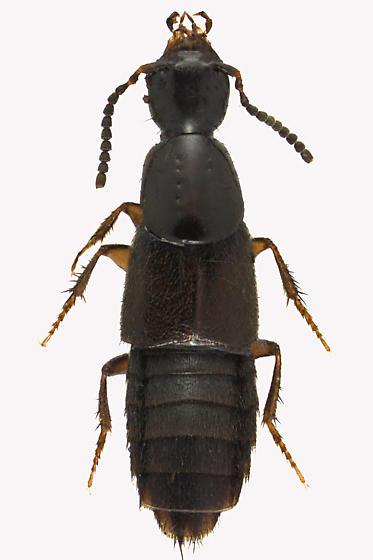 Rove beetle - Philonthus debilis - male