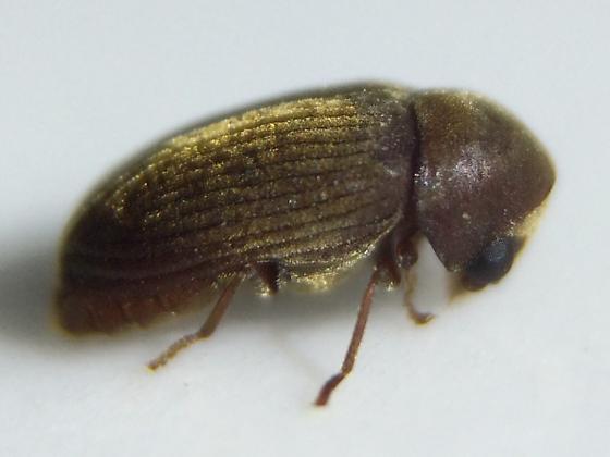Ptinid - Euvrilletta