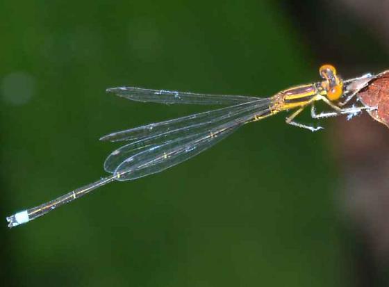 Damselfly - Enallagma sulcatum - male