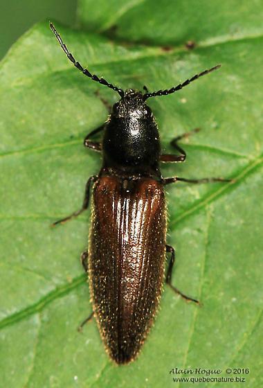 Ampedus ? - Hemicrepidius decoloratus