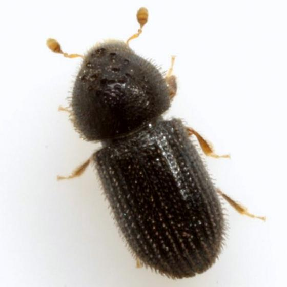 Hypothenemus rotundicollis (Eichhoff) - Hypothenemus rotundicollis