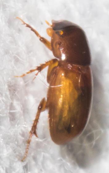 2018-09-21 Orangish dung scarab - Blackburneus stercorosus