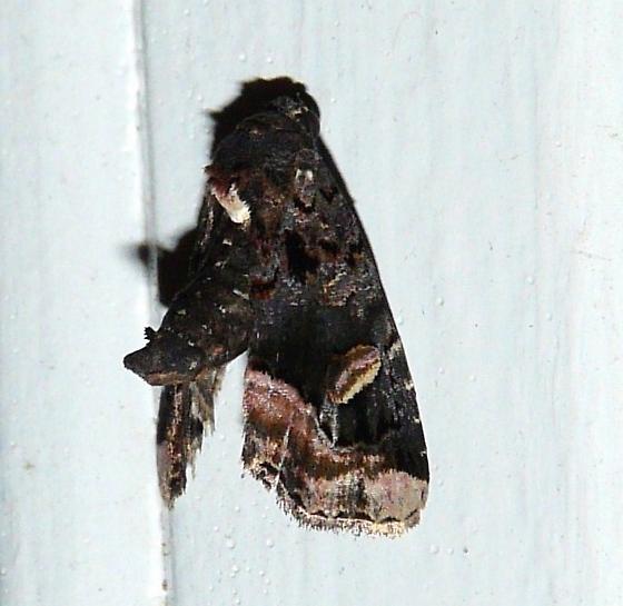 Moth ID help - Homophoberia apicosa