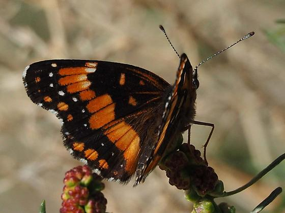 California Patch Butterfly - Chlosyne californica