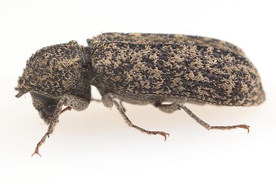 Lichenophanes? - Lichenophanes bicornis