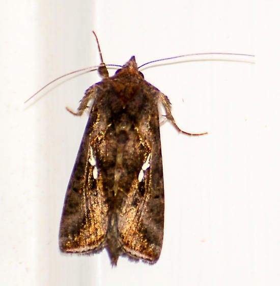 Brown Moth with White Spots - Autographa precationis
