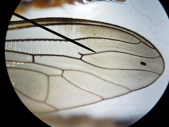 Efferia - Efferia tabescens - male
