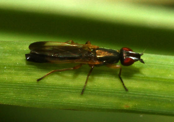 unidentified Diptera - Eumetopiella rufipes - female