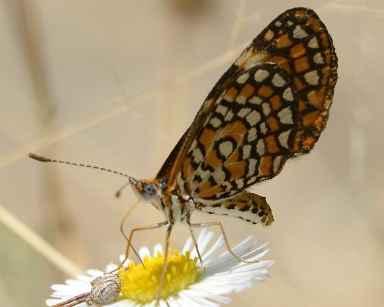 Checkered spot Butterfly - Microtia dymas