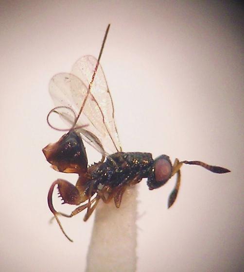 Torymidae, Podagrioninae, Podagrion sp. - Podagrion - female