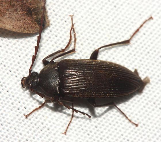 Androchirus erythropus? - Capnochroa fuliginosa