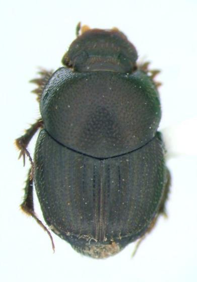 Dung beetle - Onthophagus pennsylvanicus