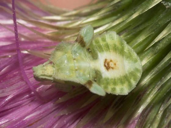 Interesting? - Phymata