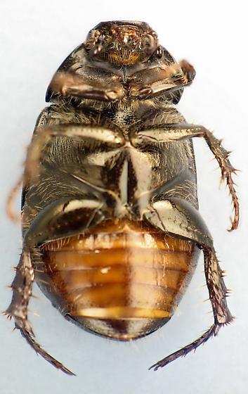 black scarb - Exomala orientalis