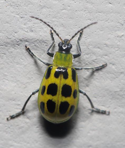 Spotted Cucumber Beetle (?) - Diabrotica undecimpunctata