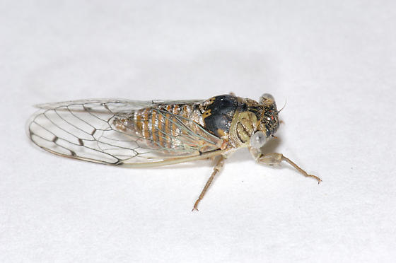 Mesquite Cicada - Pacarina puella - Pacarina puella