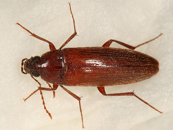 Brown Beetle - Synchroa punctata