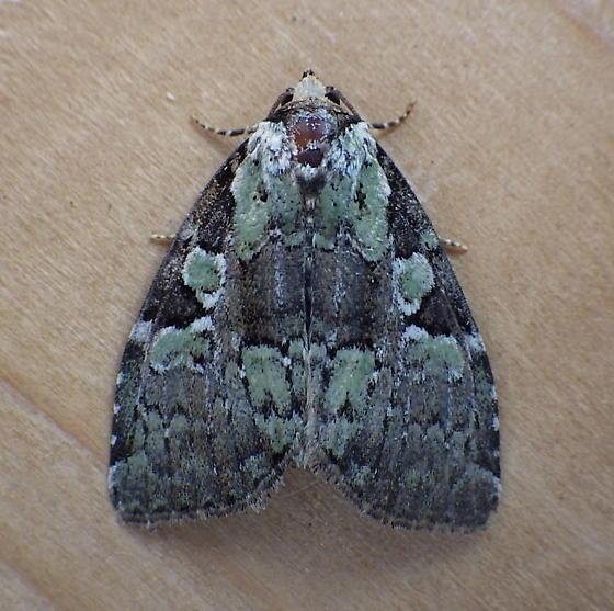 Noctuidae: Leuconycta lepidula - Leuconycta lepidula