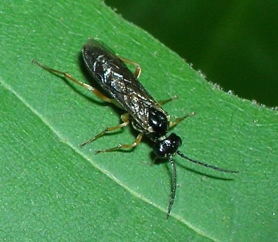 Sawfly on Sycamore - Ametastegia pallipes