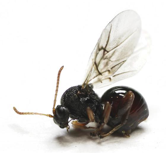 Small oak apple gall wasp - Amphibolips quercusostensackenii