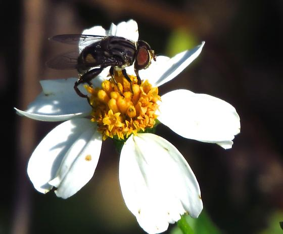 Fly on Bidens - Palpada furcata