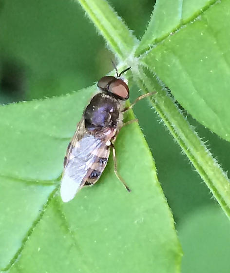 soldier fly? - Odontomyia