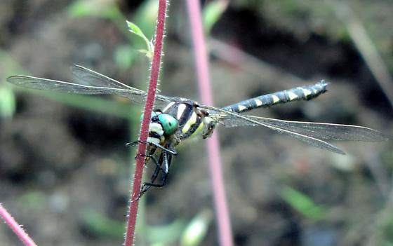 Unidentified Odonata - Cordulegaster diastatops