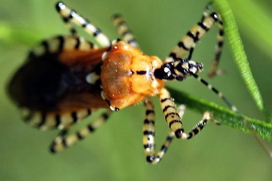 small bug - Pselliopus cinctus