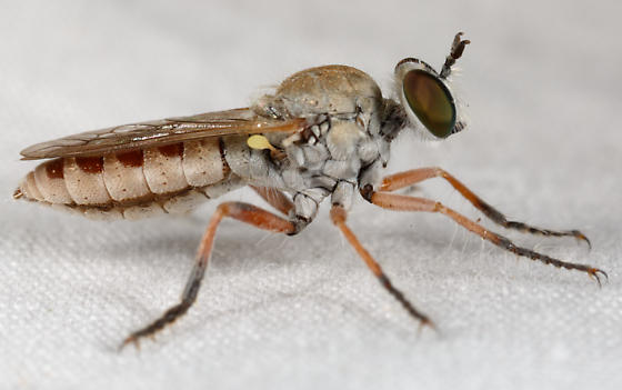 fly - Laphystia