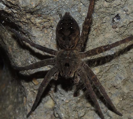 Wolf or Fishing spider sp? - Dolomedes vittatus