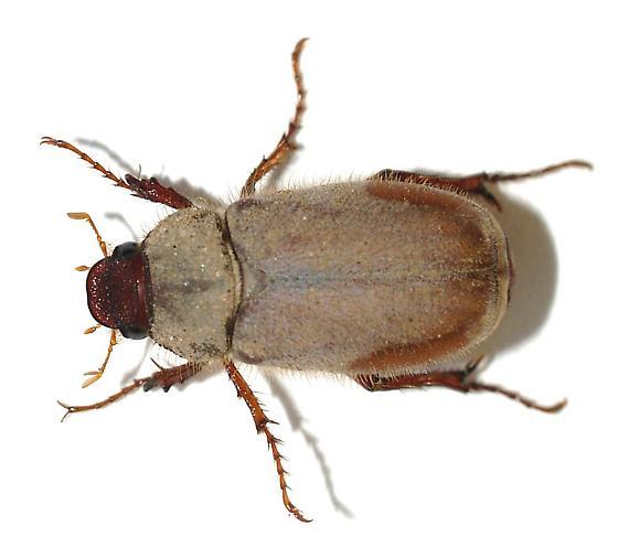 fuzzy - Phyllophaga tarsalis