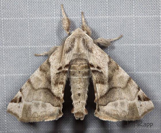 Moth - Apatelodes pudefacta