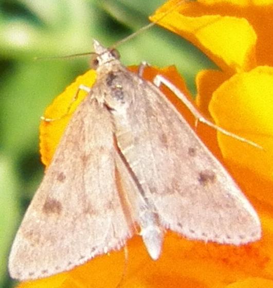 Moth E ID? - Achyra rantalis