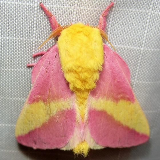 Rosy Maple Moth - Hodges#7715 - Dryocampa rubicunda